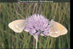 """Набор открыток """"Цветы и бабочки Забайкалья"""""""