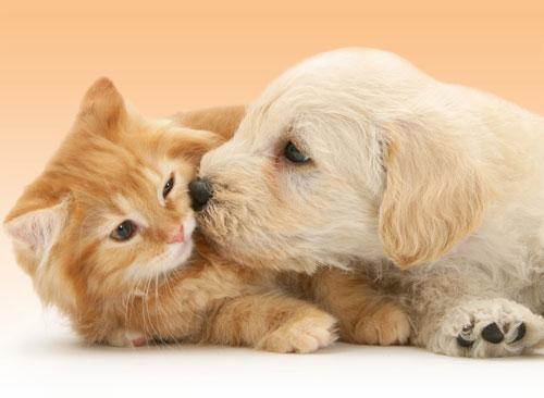 Пазл 500 Ravensburger 141722 Большая любовь (котенок и щенок)