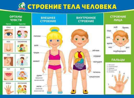 Плакат Строение тела человека А2 горизонт синяя рамка