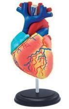 АКЦИЯ19 Пазл 4D Human Модель сердца человека