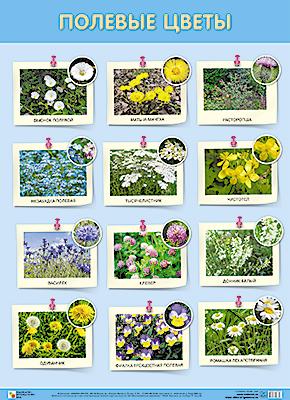 Плакат Полевые цветы