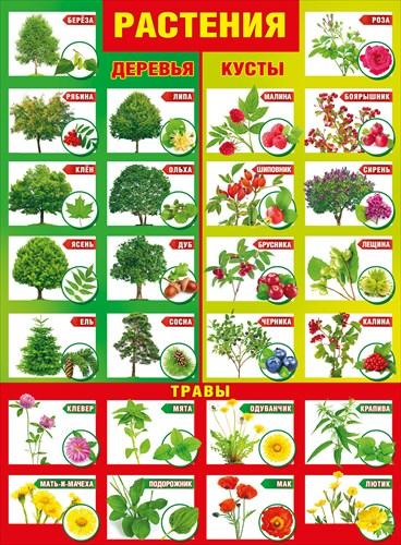 Плакат Растения. Деревья, Кусты А2 вертик