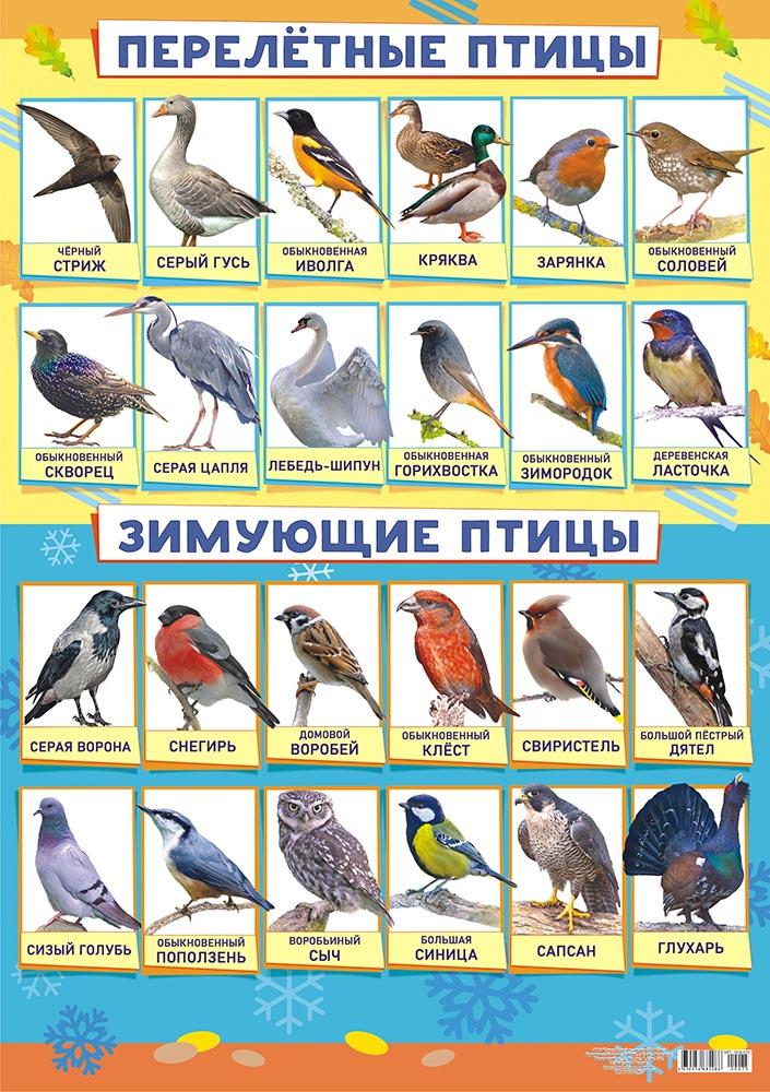 Плакат Перелетные птицы. Зимующие птицы. А2 горизонт